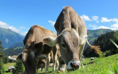 Message de sagesse des vaches